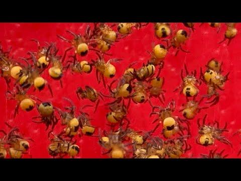 Baby Yellow Garden Spiders - Spiderlings