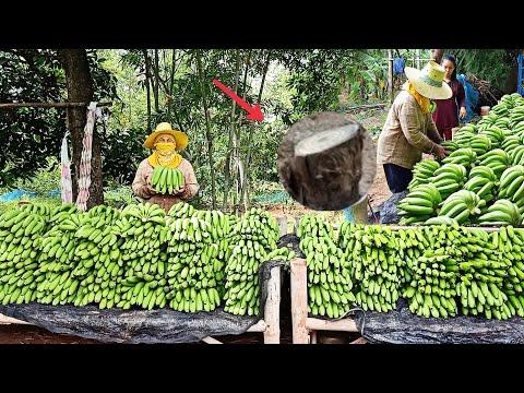 ผลผลิตจากการปาดหน่อกล้วยหอมแบบ