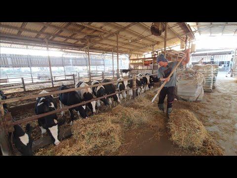 งานช่วงเช้าในฟาร์มวัวนม--|--แร
