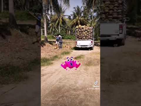 The-wonder-of-Thai-coconut