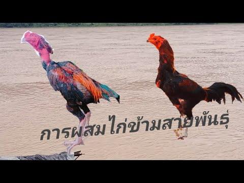 การผสมไก่ข้ามสายพนธ์ุ-ให้ออกมา