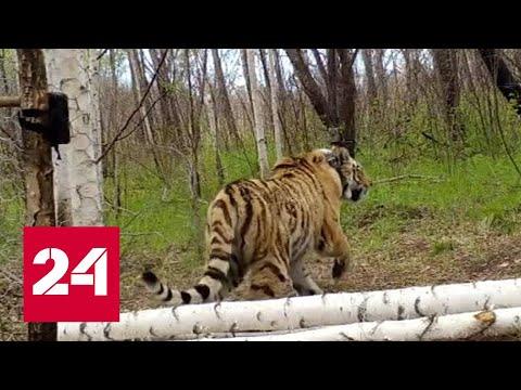 Уже есть подозреваемые: в Амурской области браконьеры убили краснокнижного тигра Павлика