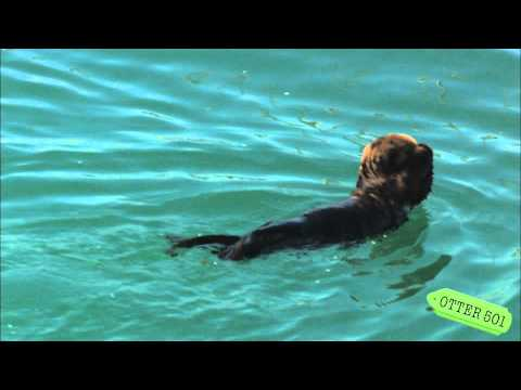 Sea Otter Pup Covers Eyes with Paws