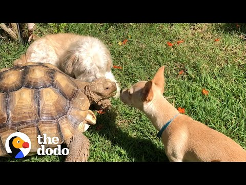 Woman Brings A New Puppy Home To Her Tortoise And Watch What Happens Next! | The Dodo Odd Couples