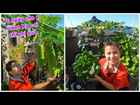 Hái bầu,ớt,cải hoa hồng thủy canh,chia sẻ cách trồng&lắp giàn thủy canh #739