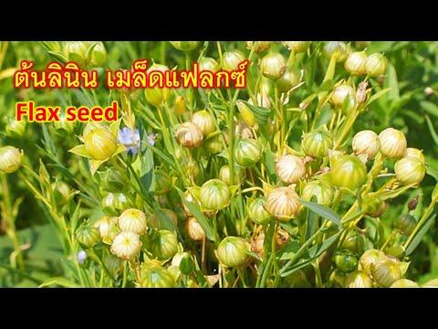 ต้นลินิน-เมล็ดแฟลกซ์-Flaxseed-