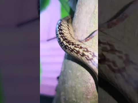 งูกินอึ่งอ่างบนต้นไม้