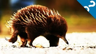 GPS Equipped Echidna Unlocks Secrets | HowStuffWorks NOW