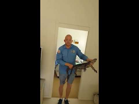 connectYoutube - Queensland Catcher Removes Large Goanna From Under the Bed