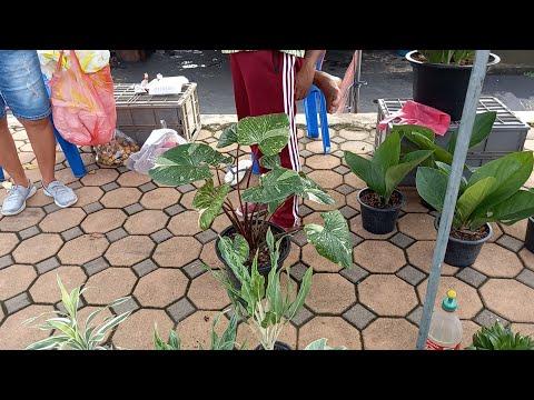 #ลุยตลาดต้นไม้สิงห์บุรี-หาบอนส
