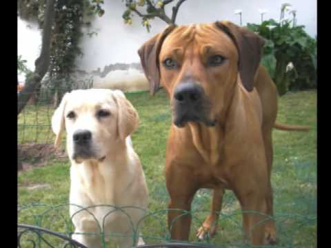 Rhodesian ridgeback and labrador puppy - traquinices na piscina