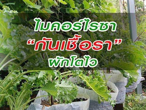 #ไมคอร์ไรซากันเชื้อราผักโตไว