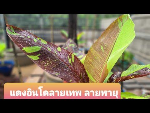 รวมกล้วยด่างงาม-กล้วยแดงอินโดล