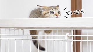 子猫『ついに子猫がケージに登る楽しさを知ってしまった…』などなど