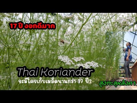 17-ปี-ผักชีหอมไทย-(Thai-Korian