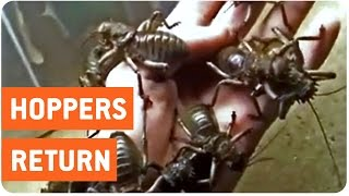 Giant Fighter Crickets Crawl on Hand | So Much Nope