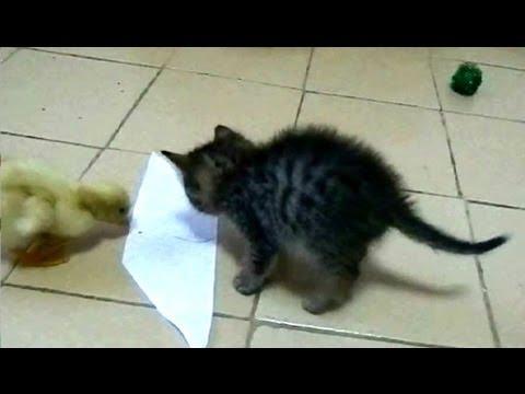 Video: Kačiukas ir ančiukas VS Lipnus popierius -