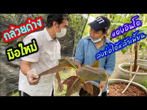 กล้วยด่างมือใหม่-แดงอินโด