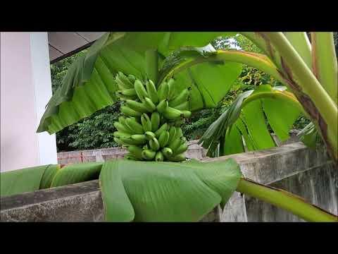 ปลูกกล้วยไข่กำแพงเพชร--ที่โครา
