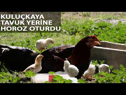 Horoz, Civcivlere Annelik Yapıyor