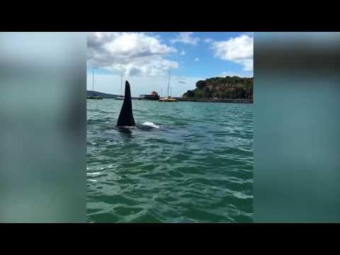 Kayaking with some curious Orca Killer Whales in Auckland