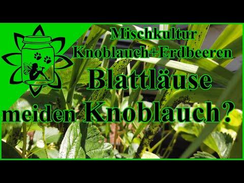 Blattläuse meiden Knoblauch? | Mischkultur Knoblauch Erdbeeren | Gute Pflanznachbarn |