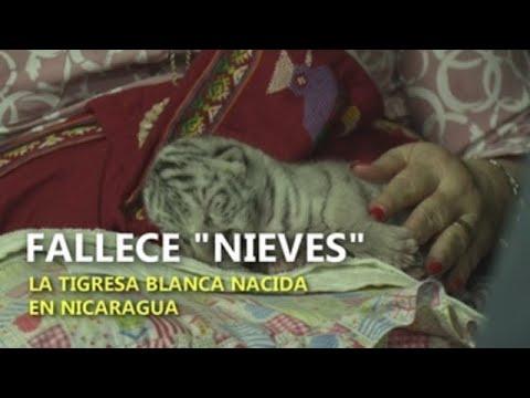 Fallece «Nieves», la tigresa blanca nacida en Nicaragua