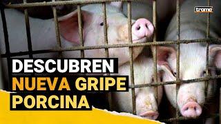 VIRUS G4: China descubre otro virus de GRIPE PORCINA con potencial a convertirse en pandemia