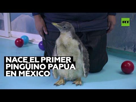 Nace una cría de pingüino papúa en un acuario de Ciudad de México