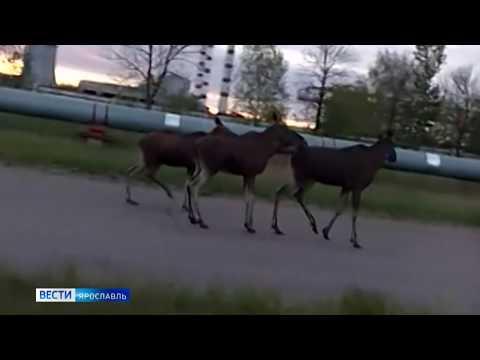 Сразу несколько лосей прошлись по Промышленному шоссе Ярославля