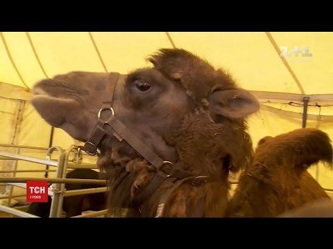 На бельгійській дорозі водіїв нажахали верблюди, які втекли з пересувного цирку