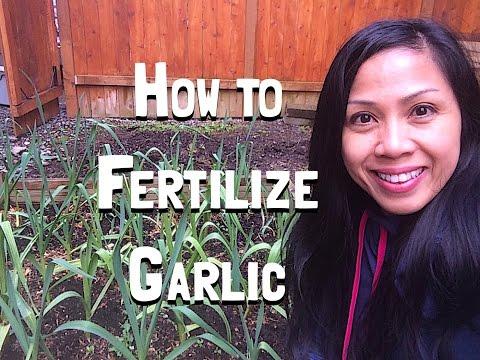 Growing Garlic -How to Fertilize Garlic in the Spring