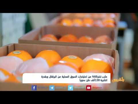 مأرب تنتج 60% من احتياجات السوق المحلية من البرتقال وبقدرة انتاجية 130ألف طن سنوياً | تقرير: خليل