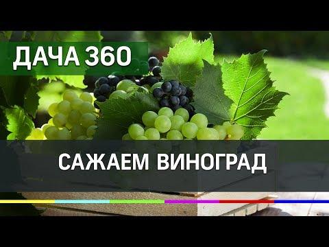Сажаем виноград - ДАЧА 360