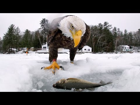 GoPro Awards: Eagle Saves Fish from Cold