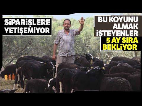 Avrupa'dan İthal Edilen Kaliteli Koyunlara Yoğun İlgi, Taleplere Yetişemiyor