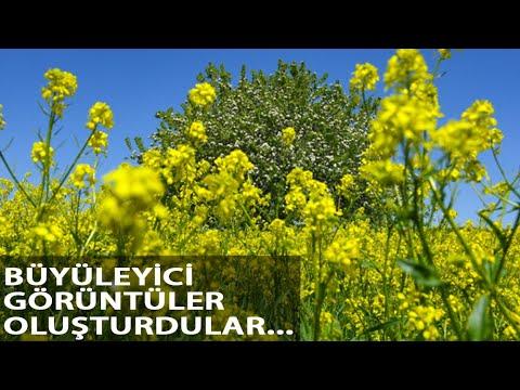 Hardal Çiçekleri, Tunceli'yi Sarıya Boyadı