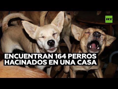 Hallan 164 perros en condiciones deplorables hacinados en una pequeña casa en Japón