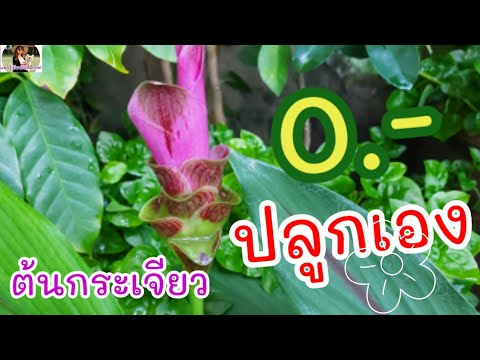 ดอกกระเจียวบานที่บ้าน-ชมดอกสีช