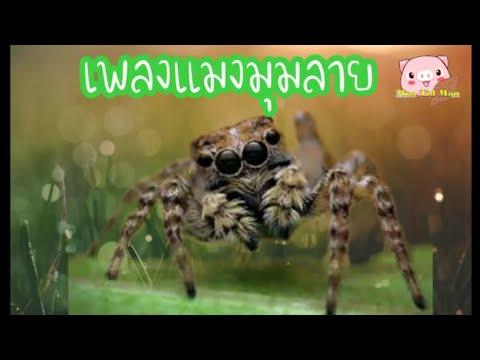 เพลงแมงมุมลาย