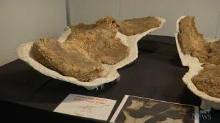 Australia's largest dinosaur was 'an amazingly huge animal'