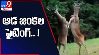 ఆడ జింకలా మజాకా!.. కొమ్ములతో కుమ్మేసుకున్నాయ్ - TV9 - TV9