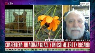 Cuarentena: rescatan un aguará guazú y un oso melero en Rosario