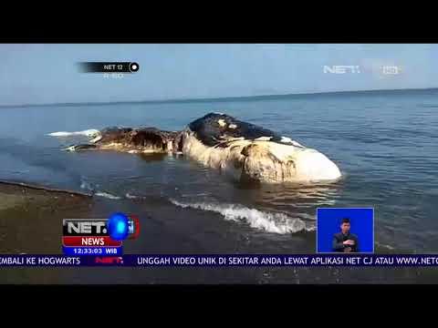 Bangkai Ikan Paus Gegerkan Warga Desa Buleleng Bali - NET 12