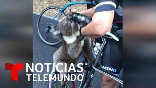 Una ciclista, la buena samaritana de un koala en Australia   Noticias Telemundo