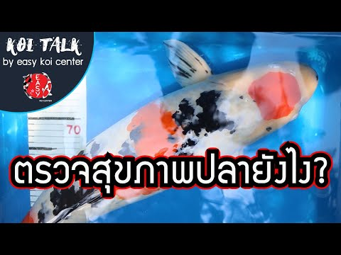 Koi-Talk-EP.5-ตรวจสุขภาพปลาคาร