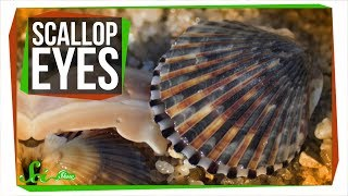 There Are Crystal Mirrors Hidden in Scallop Eyes