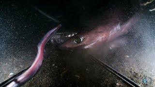 Gulper and Pacific Sleeper Sharks   Alien Sharks