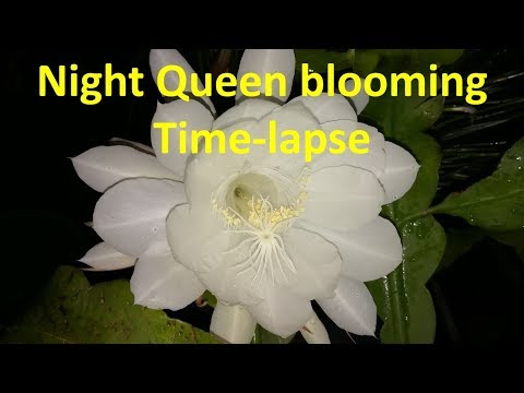 Night Queen flower Blooming – Amazing and rare time lapse video