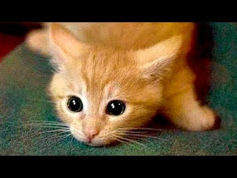connectYoutube - Are ORANGE CATS the FUNNIEST CATS? - Super FUNNY COMPILATION that will make you DIE LAUGHING